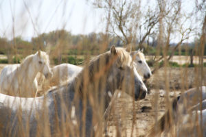 Un week-end en Camargue